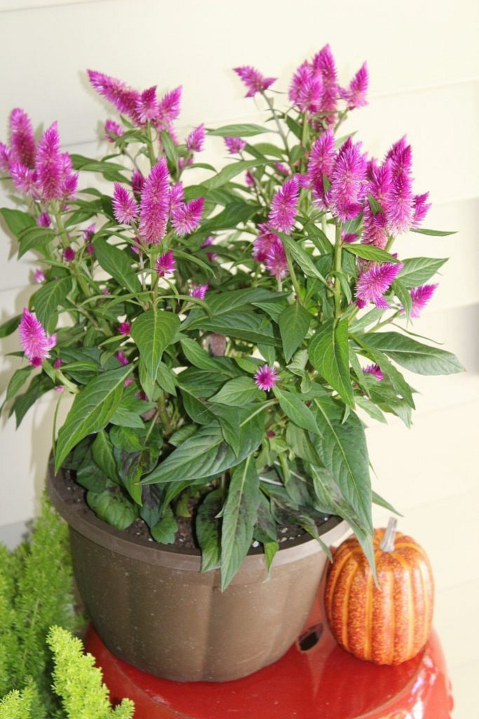 Front Door Porch Fall 2017 - Celosia